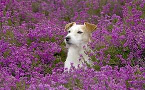 Картинка поле, цветы, пёс