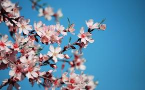 Картинка небо, цветы, вишня, ветви, голубое, весна, лепестки, сакура, розовые, цветение