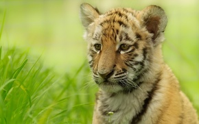 Обои трава, тигр, размытость, тигрёнок