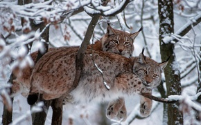 Картинка зима, кошка, снег, деревья, ветки, Германия, евразийская рысь, Национальный парк Баварский лес, рысь обыкновенная
