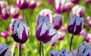 Картинка макро, тюльпаны, пестрый