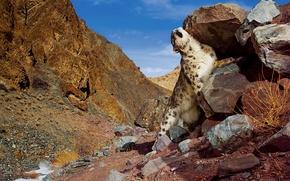 Обои snow leopard, Горы, камни, снежный барс