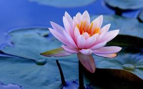 Обои листья, вода, Кувшинка, Водяная лилия