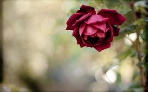 Картинка цветок, роза, лепестки, стебель, красная