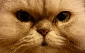 Картинка кошка, взгляд, мордочка, глаза, кот