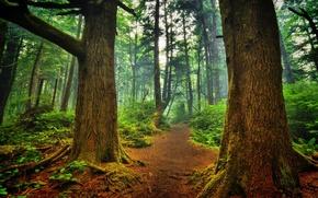 Картинка лес, деревья, тропинка