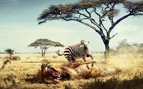 Картинка зебра, Лев, Африка, 158