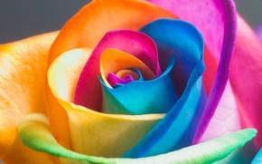 Картинка цветные, роза, лепестки, бутон