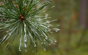 Картинка лес, макро, растение, утро, после дождя, сосна