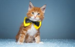 Картинка бабочка, котёнок, рыжий котёнок, Мейн-кун