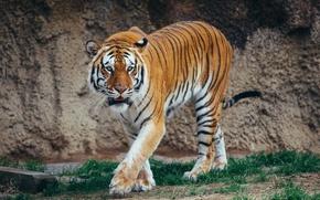 Обои прогулка, тигр, хищник, морда, дикая кошка
