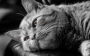 Картинка кот, задумчивость, чёрно-белая