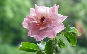 Картинка листья, фон, розовая, роза, чайная