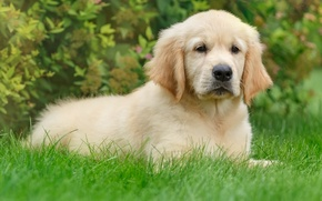 Картинка трава, щенок, ретривер