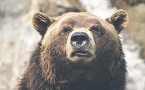 Картинка взгляд, нос, медведь, ушки, бурый