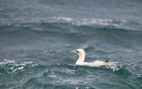 Обои waves, sea, bird, wildlife, gannet