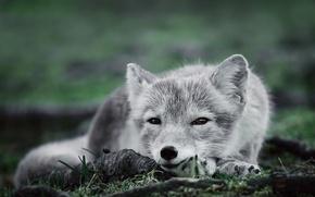 Картинка взгляд, полярная лисица, Песец, пепельнобелая