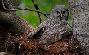Картинка птицы, сова, птенец, Great Gray Owl