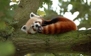 Обои дерево, медведь, панда, рыжая, малая