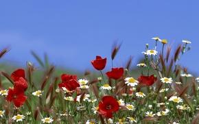 Обои цветы, ромашки, небо, маки, лето, трава, колосья