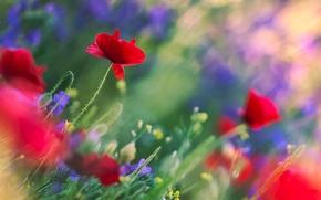 Картинка цветы, синие, Маки, красные, стебли, полевые, размытость, листья, боке, поле, блики