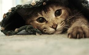 Картинка кошка, глаза, кот, лапы