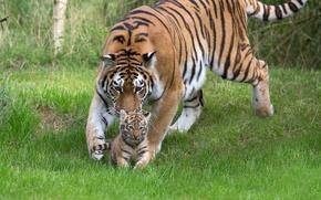 Обои тигрёнок, трава, тигрица