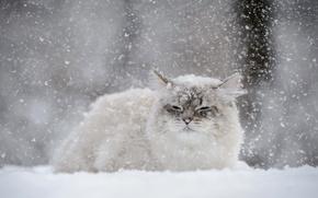 Картинка зима, кошка, кот, снег