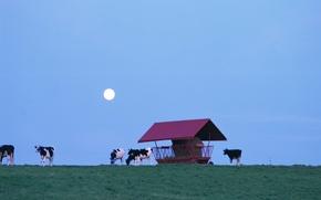 Картинка небо, трава, луна, коровы, домик
