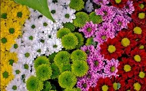 Обои много, разноцветные, хризантемы