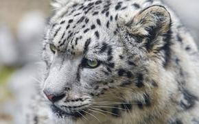 Картинка кошка, морда, ирбис, снежный барс, котёнок, ©Tambako The Jaguar