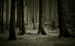 Обои деревья, темно, лес
