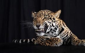 Обои леопард, усы, хвост, лапы