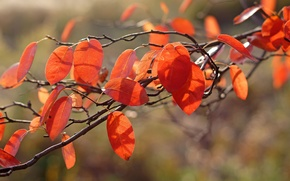 Картинка макро, ветка, листва, свет, осень, оранжевая