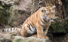 Картинка кошка, взгляд, тигрёнок, котёнок, мох, тигр, амурский, камень