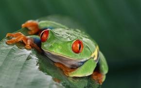 Картинка лягушка, экзотика, красные глаза