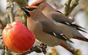 Картинка птицы, яблоко, ветка, обед, свиристели