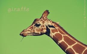 Картинка шея, морда, жираф, фон, надпись