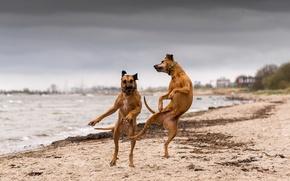 Обои танец, река, собаки