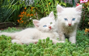 Обои цветы, белые, котята, парочка