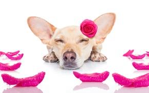 Обои собака, funny, romantic, cute, love, heart, dog, rose