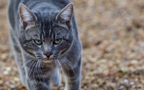 Картинка кот, взгляд, серый, суровый, матёрый