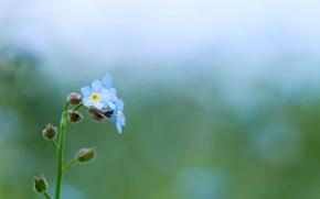 Картинка зелень, макро, цветы, природа, зеленый, блики, нежность, растение, цвет, весна, голубые, незабудки