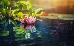 Обои лето, озеро, цветы, лилии