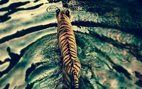 Картинка вода, тигр, хищник, Disney's Animal Kingdom