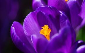 Картинка макро, лепестки, фиолетовые, сиреневые, Крокусы