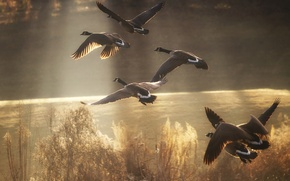 Картинка птицы, озеро, пруд, река, утки