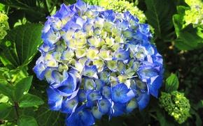 Картинка flowers, гортензия, Hydrangea