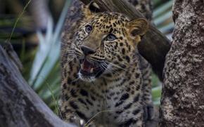 Картинка интерес, дерево, леопард