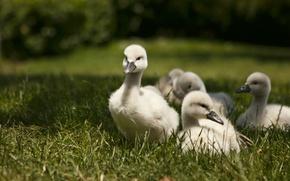 Картинка трава, прогулка, лебеди, птенцы